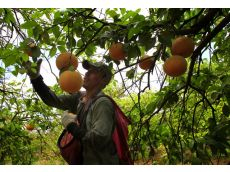 Carlos Morales, who works for South Tex Organics, picks citrus.